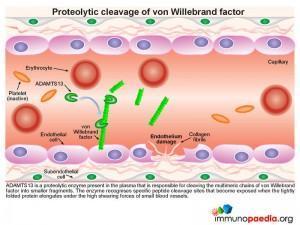 Preteolytic cleavage of von Willebrand factor