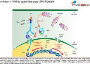 Rickettsia immunity_Page_1.1
