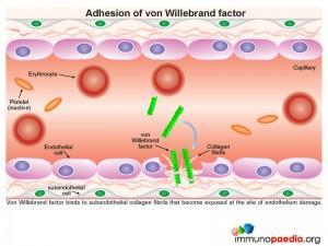 adhesion-of-von-willebrand-factor
