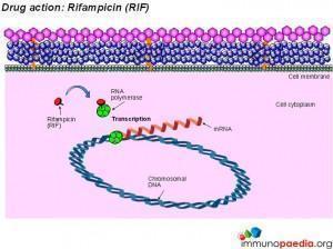 drug-action-rifampicin-rif