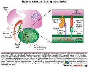 natural-killer-cell-killing-mechanism