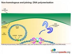 non-homologous-end-joining-dna-polymerisation