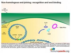 non-homologous-end-joining