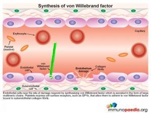 Synthesis of von Willebrand factor