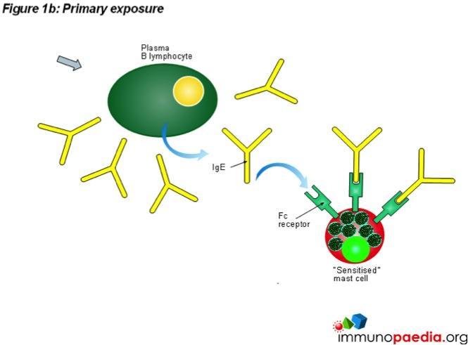 Hypersensitivity Reactions - Immunopaedia