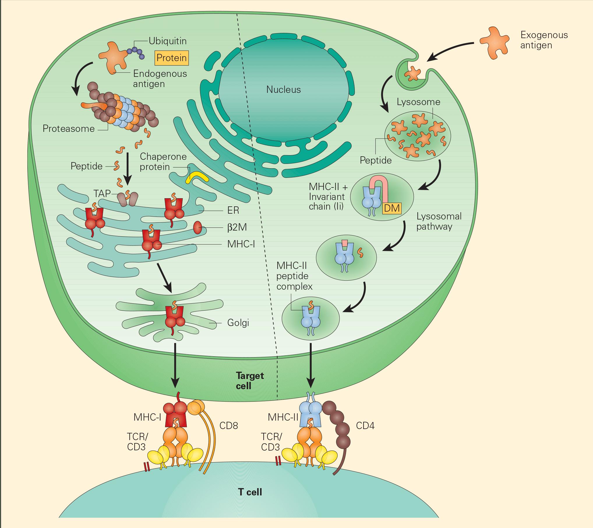 Tumour-associated antigen processing