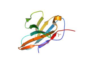 Human CD8 molecule