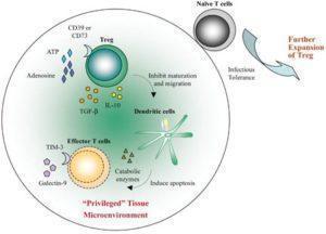 Immunoregulation by Tregs