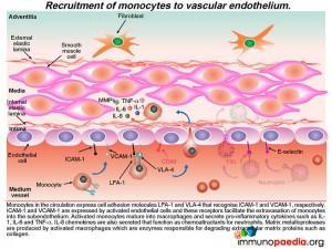 recruitment-of-monocytes-to-vascular-endothelium