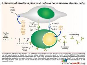 Adhesion of myeloma plasma B cells to bone marrow stromal cells