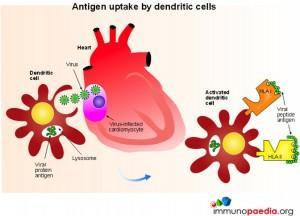 Antigen-Update-by-Dendritic-Cells