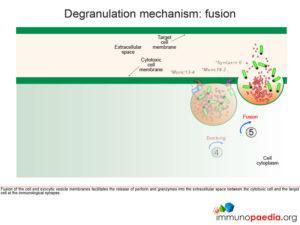 Degranulation mechanisn: fusion