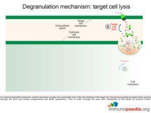 degranulation mechanism: target cell lysis