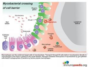 Mycobacterial crossing of cell barrier