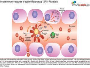 Rickettsia immunity_Page_2.1