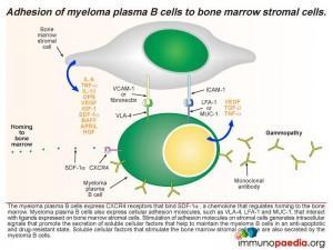 adhesion-of-myeloma-plasma-b-cells-to-bone-marrow