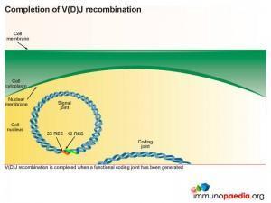 Completion of V(D)J recombination