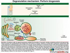 degranulation-mechanism-perforin-biogenesis