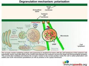 degranulation-mechanism-polarisation