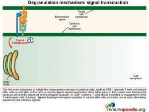 degranulation-mechanism-signal-transduction