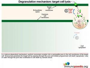degranulation-mechanism-target-cell-lysis