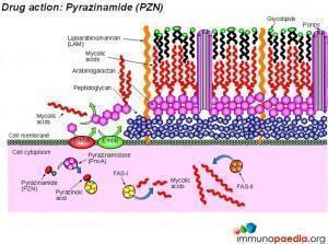 drug-action-pyrazinamide-pzn