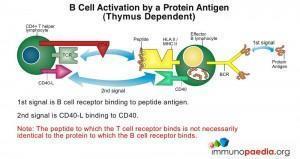 figure 2: thymus dependent antigens
