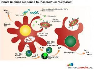 innate-immune-response-to-plasmodium-falciparum