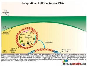 Intergration of HPV episomal DNA