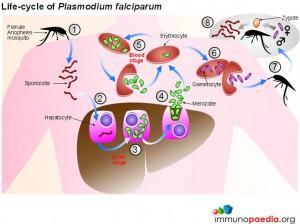 life-cycle-of-Plasmodium-Falciparum