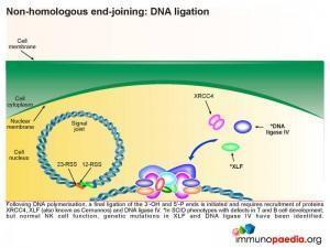 Non homologous end joining DNA ligation