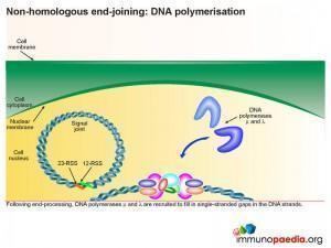 Non homologous end joining dna polymerisation