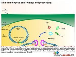Non homologous end joining end processing