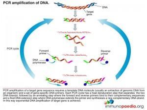 pcr-amplication-of-dna