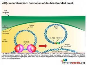 V(D)J recombination formation of double stranded break