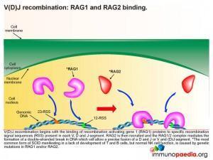 V(D)J recombination RAG1 and RAG2 binding