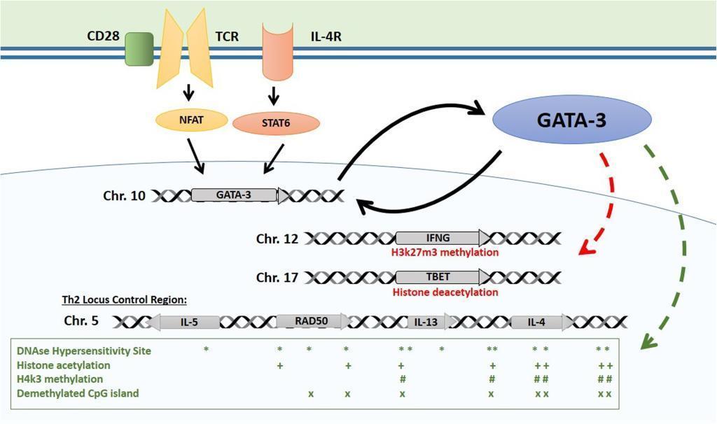 Epigenetic control of the Th2 locus