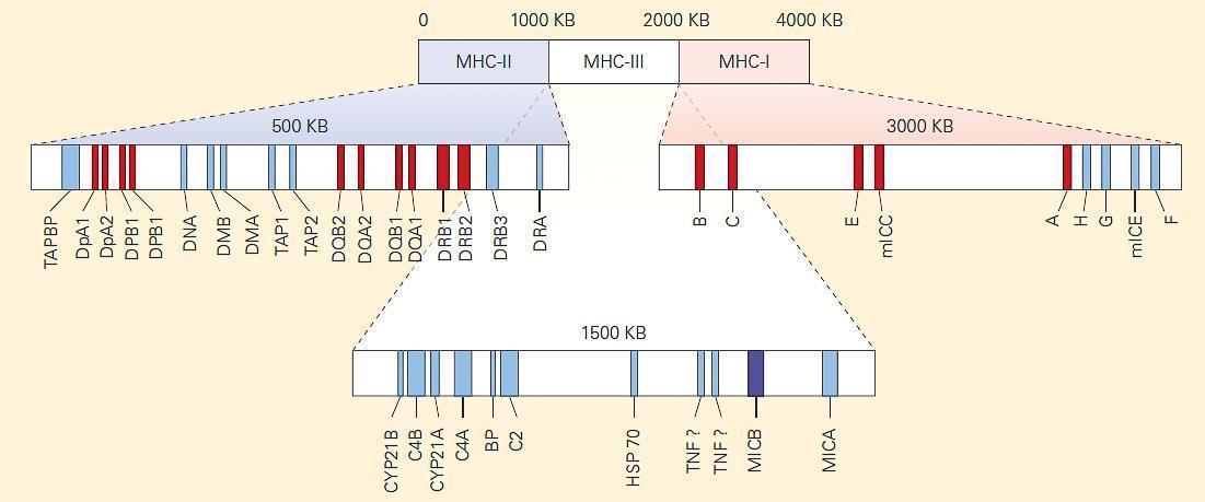 Mhc Antigen Presentation Immunopaedia