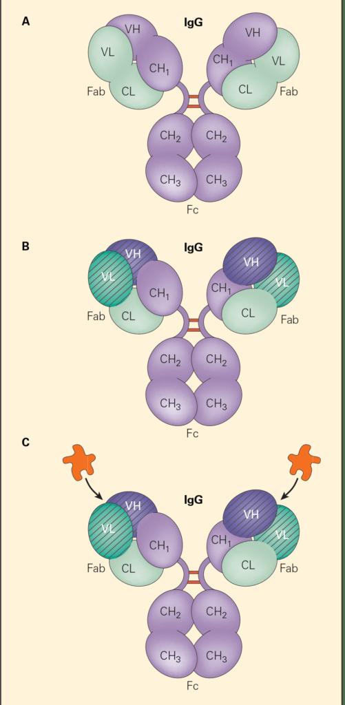 IgG molecule