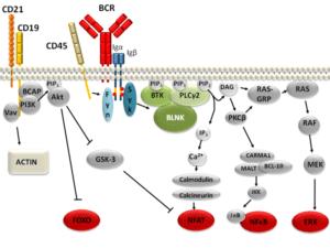 B cell signalling pathways