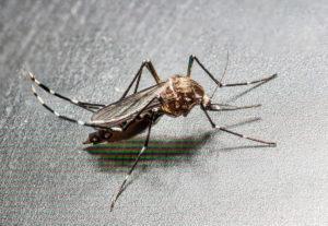 Aedes albopictus (Mosquito tigre)