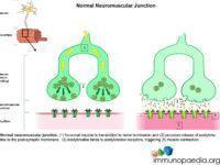 Normal neuromuscular junction.