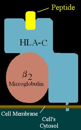 HLA-C locus